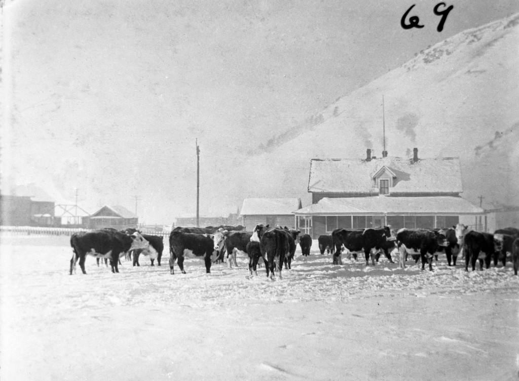 Herd of cattle on the Town Square