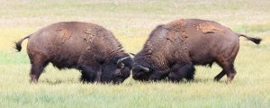 Two male bison butt heads inYellowstone National Park